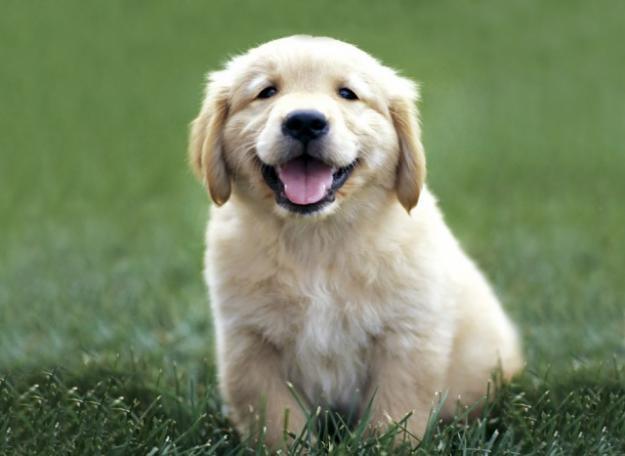 perros-obedientes