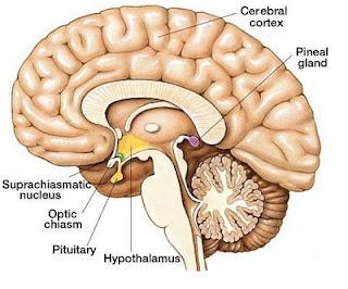 glandulas pineal pituitaria