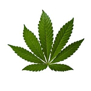 Hoja de Cannabis Indica