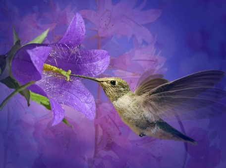 colibri-flor