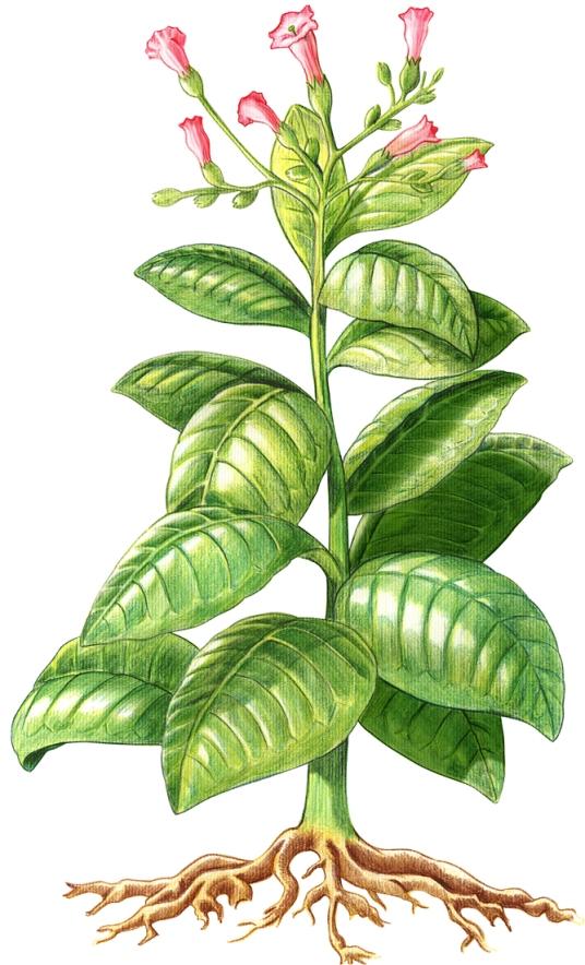 planta_tabaco
