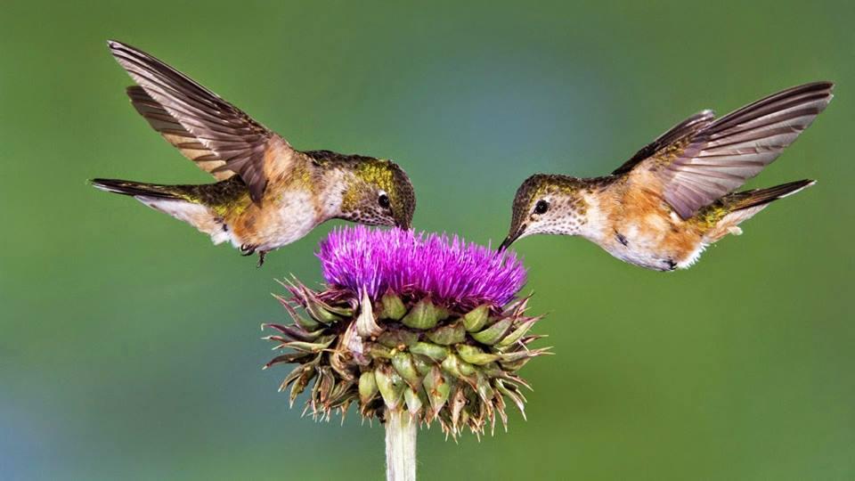 colibri, flor morada
