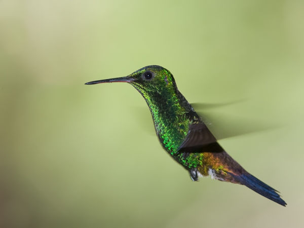 Copper-rumped_Hummingbird-4825